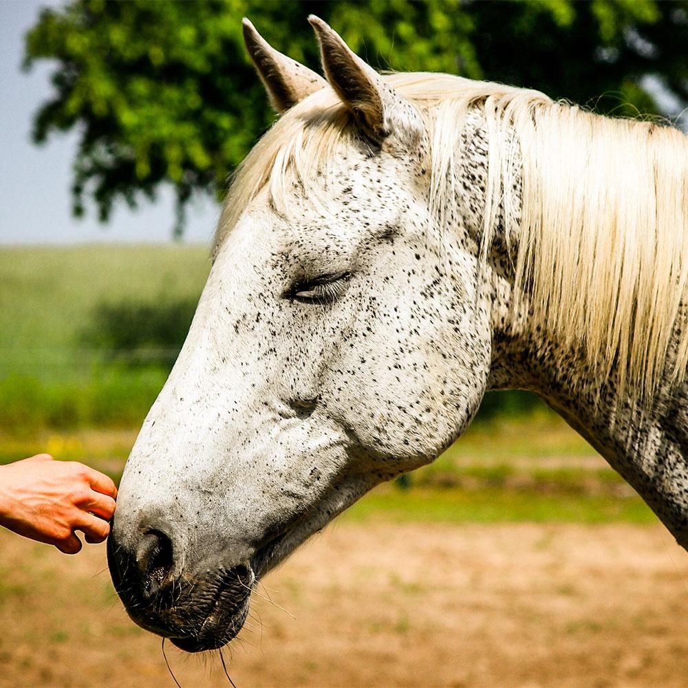 animal-reiki-horse